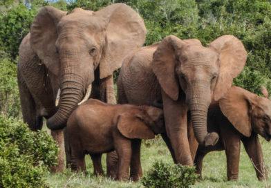 safari słoń